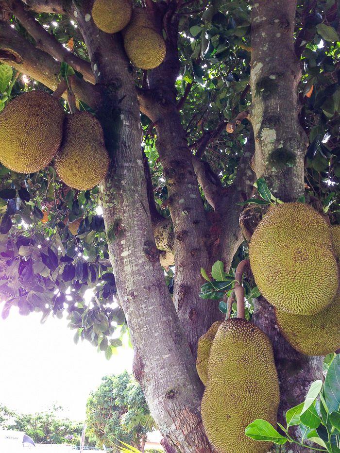 Jackfruit copac